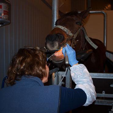 veterinär sala häst